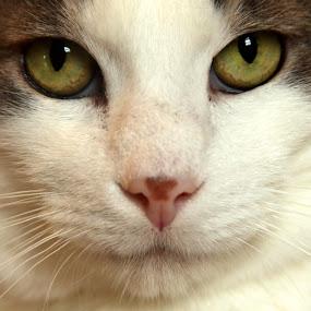 Linus by Amanda Westerlund - Animals - Cats Portraits