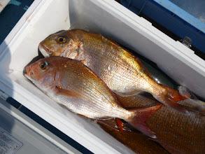 Photo: きれいな真鯛です。 今日は、どれも良型ばかりでした!