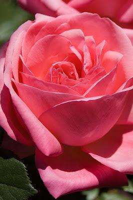 Il rosa di una... rosa. di redde