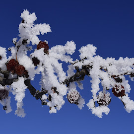 Frost by Denton Thaves - Nature Up Close Trees & Bushes ( frost )