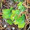 Freckled Pelt Lichen