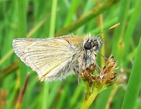 Photo: Small skipper 30 July 2015 © Pauline Popely 2015