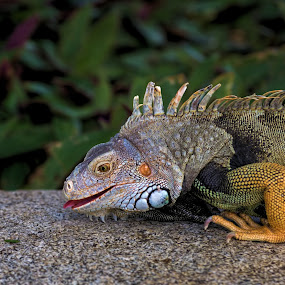 by Augustine Juliano - Animals Reptiles