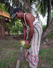 Photo: Removing the outer layer of the coconut Tangalle Sri Lanka