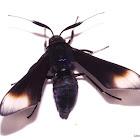 Ctenuchid Wasp Moth Adult Emergence