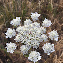 Queen Anne's lace or wild carrot