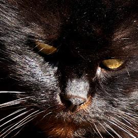 Tomtom3 by Sámuel Zalányi - Animals - Cats Portraits ( eye, close up, tomcat, cat, black, yellow, portrait,  )