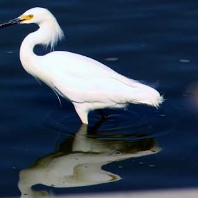 Egret reflection by Karen Coston - Animals Birds ( reflection, white, baylands, natural habitat, water bird, egret,  )