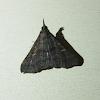Sober Renia Moth