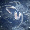 Furcate Spider Crab