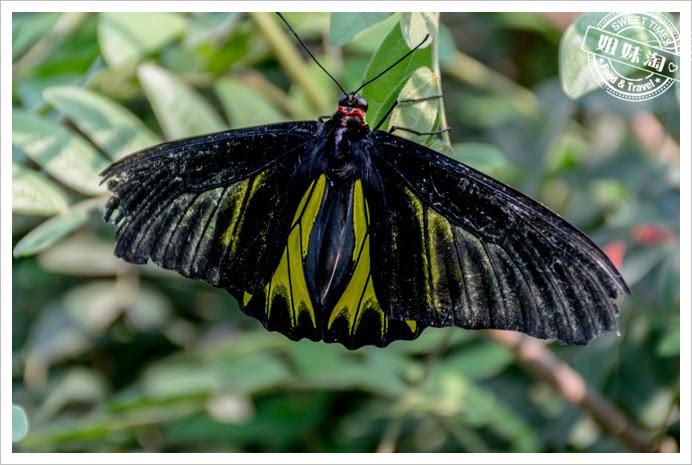 金獅湖蝴蝶園蝴蝶