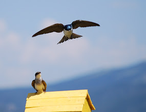 Photo: Swallows