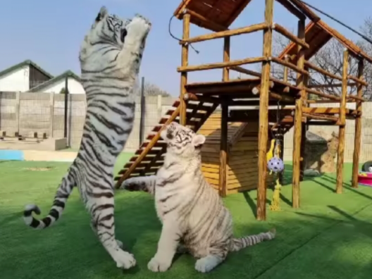 An image of the two white tigers shared by their owner on her social media pages.