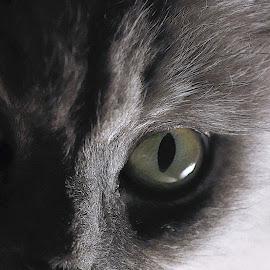 I've got my eye on you. by April Nowling - Animals - Cats Portraits ( cat, pet, feline, soft, eye,  )