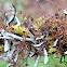 Tufted Foxtail Lichen