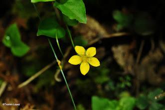 Photo: Lysimachia nemorum