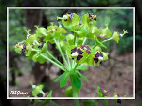 Photo: Euphorbe des garrigues, Euphorbia characias