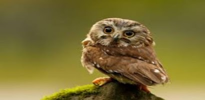 Owl Sounds - Android a...