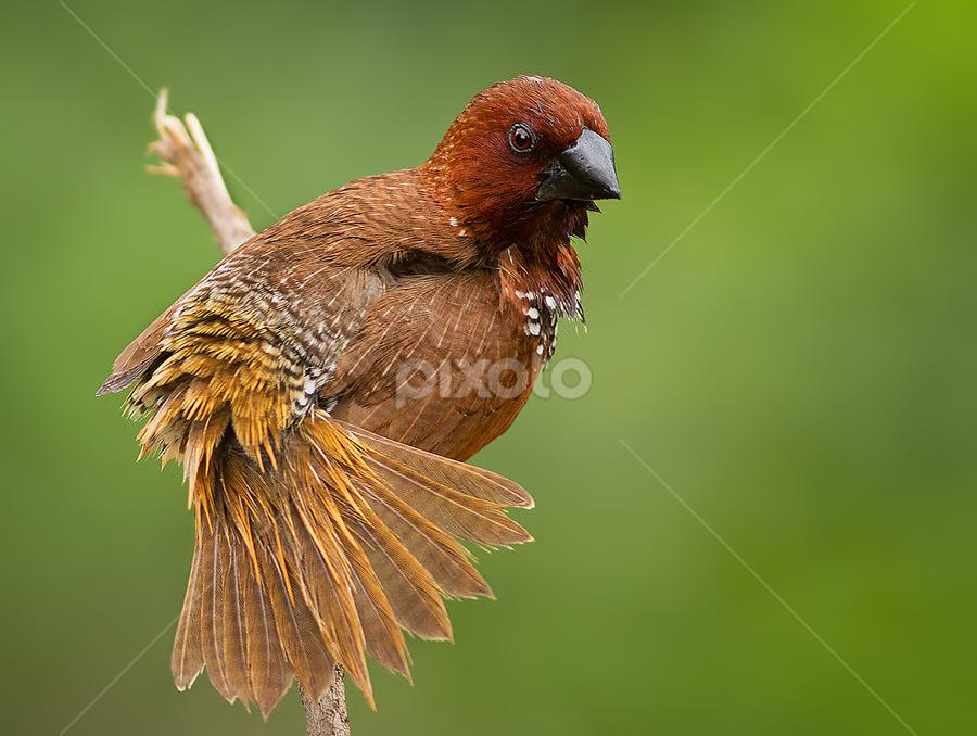 Munia by Jineesh Mallishery - Animals Birds ( bangalore, scaly breasted munia, munia )