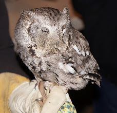 Photo: Eastern screech owl: weighs about one-half pound. This one was hatched with a defective right eye and beak, so cannot survive in the wild, but makes a good educational ambassador.