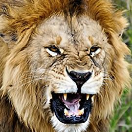 Lion by Judy Causton - Uncategorized All Uncategorized