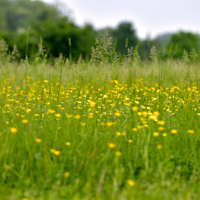 Yellow Meadow by Svemir Brkic - Landscapes Prairies, Meadows & Fields ( flowers, green, yellow, meadow, landscape,  )