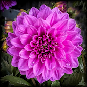 Dahlia Flower HD Wallpaper