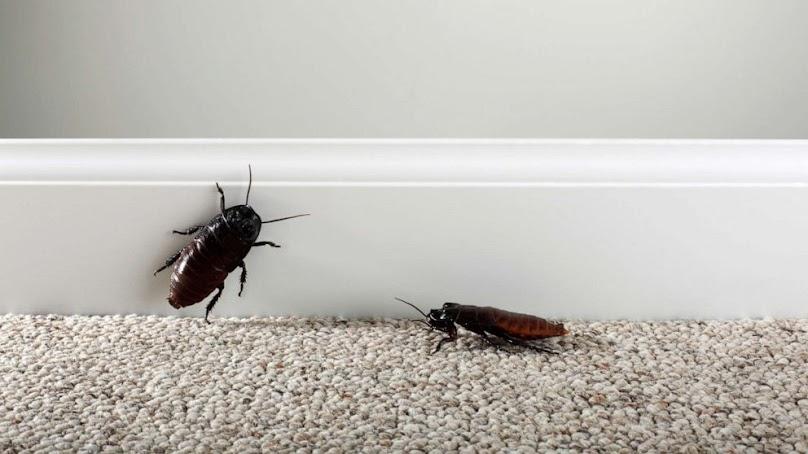 Dlaczego karaluchy występują w domu? Jak je wytępić?