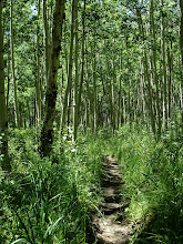 Photo: In an aspen grove