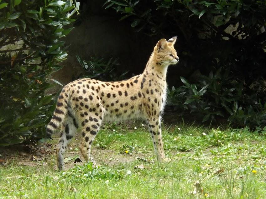Serval, la Boissière du Doré - Tous droits réservés