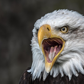 The Mighty by Andy Smith - Animals Birds ( bird, eagle, bird of prey, bald eagle, feathers, usa, eyes,  )