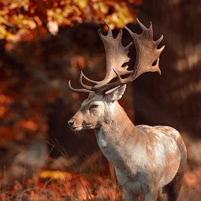 Fallow deer by Peter Kostov - Animals Other Mammals ( deer, forest, nature, fauna, fallowdeer, animal, autumn, wildlife )