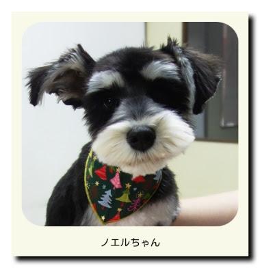 ミニチュアシュナウザー(子犬・パピー)のノエルちゃん