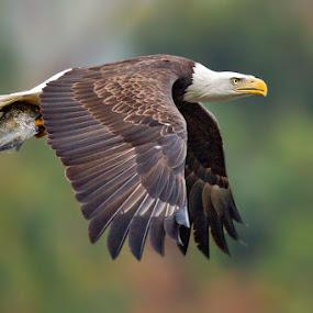 by Herb Houghton - Animals Birds ( bird of prey, eagle, bald eagle, herbhoughton.com, raptor )