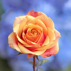 Tangerine Rose by Jim Downey - Flowers Single Flower ( orange, rose, petals, complimentary, colors )