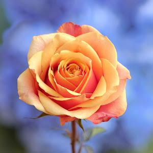yelow-orange  ROSE -1.jpg