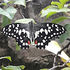 Lime Butterfly (Swallowtail)