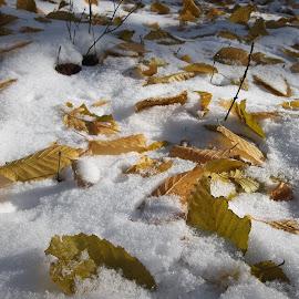 Вълшебство by Georgi Kolev - Nature Up Close Leaves & Grasses ( сняг., слънце., сенки., форми., листа. )