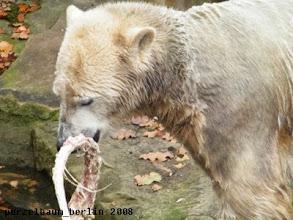 Photo: Knut hat einen Ochsenschwanz gefunden ;-)