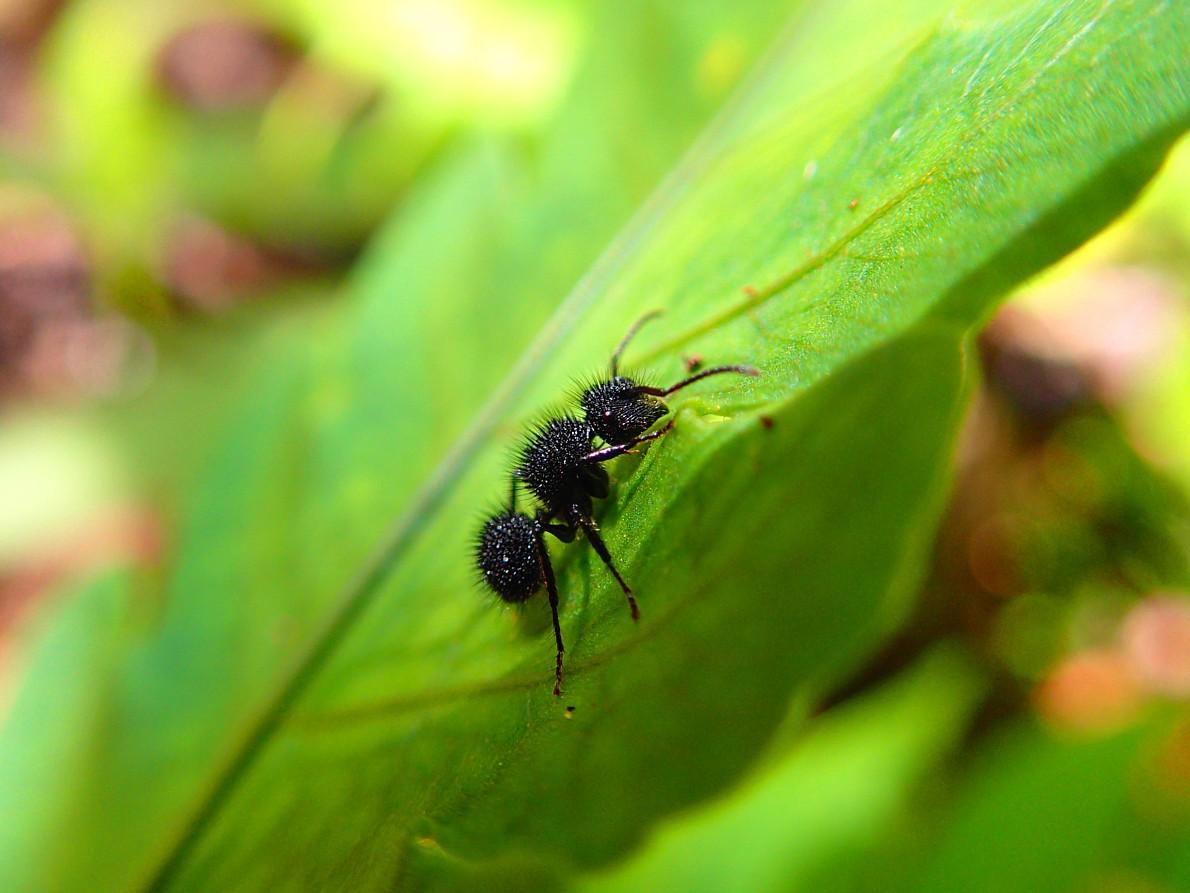 Black Hairy Ant