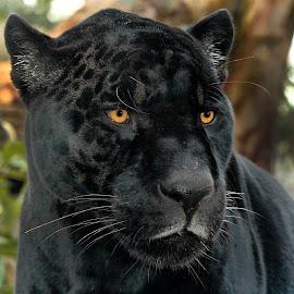 Le regard d'Aramis by Gérard CHATENET - Animals Lions, Tigers & Big Cats (  )