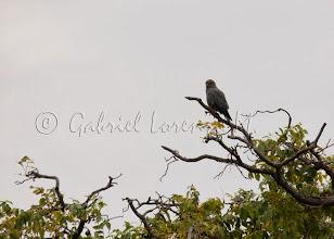Photo: Cernícalo pizarroso (Falco ardosiaceus)