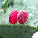 Prickly Pear; Chumbera