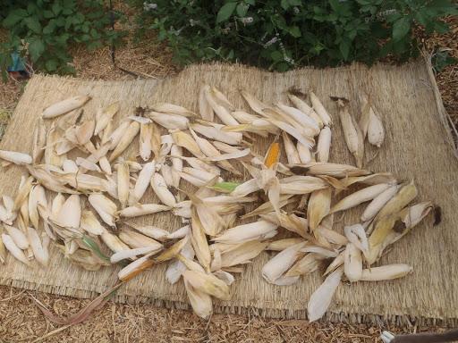 ポップコーンを収穫して干しているところ