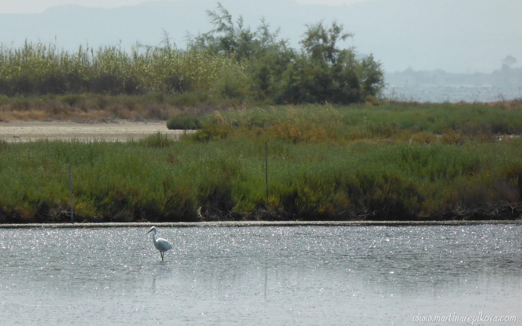 Dalmatian Pelican, Karavasta lagoon, Albania