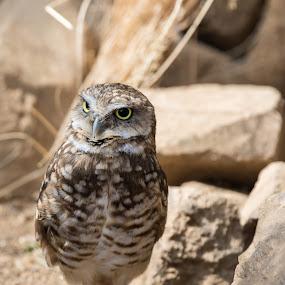 Burrowing Owl by Jim Talbert - Animals Birds ( owl, bird of prey, burrowing owl, bird, animal, zoo, henry doorly zoo )
