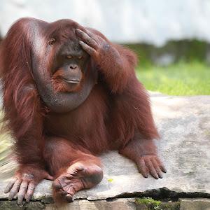 orangutan 03.jpg