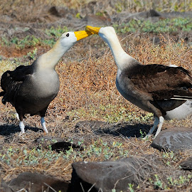 Mating by Tomasz Budziak - Animals Birds ( animals, birds,  )