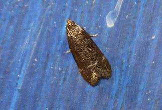 Photo: Athrips rancidella  Lepidoptera > Gelechiidae