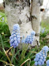 Photo: Little blue flowers in front of a birch trunk at Wegerzyn Gardens in Dayton, Ohio.
